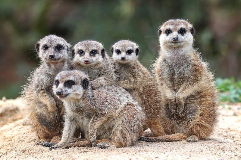 Porträtt från en familj meerkats arkivfoto