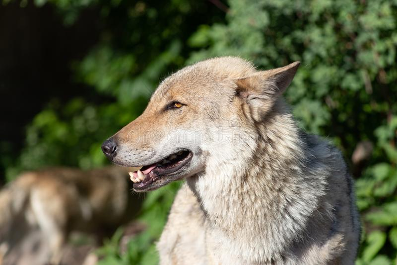 Portr?t der Nahaufnahme des grauen Wolfs stockbilder