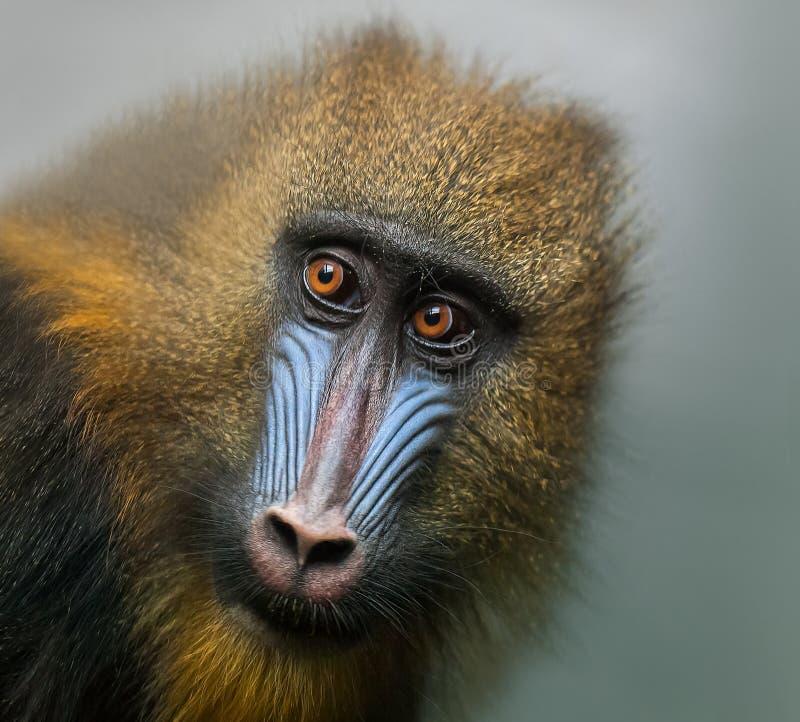 Portr?t des Mandrills, Mandrillussphinx, Primas der Meerkatzefamilie stockfotografie
