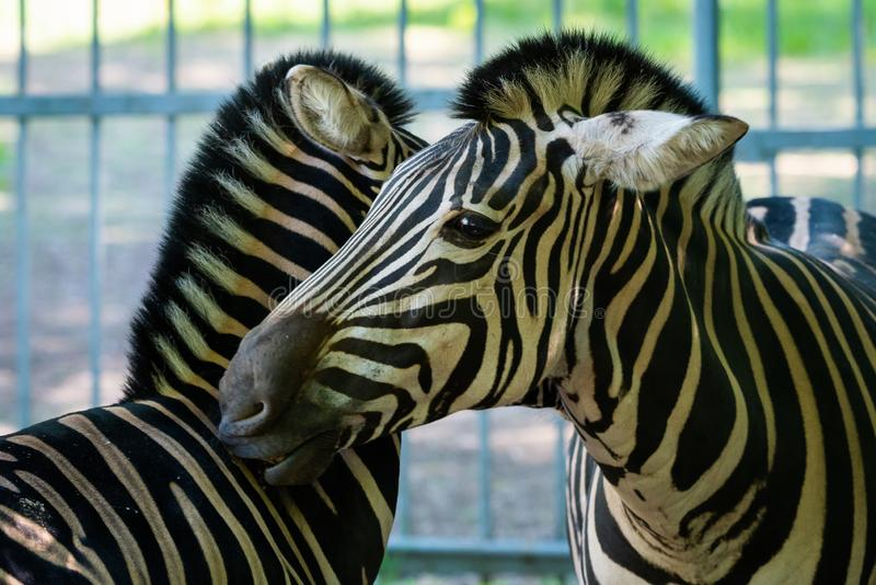 Portr?t des Zebras im Zoo lizenzfreie stockfotos