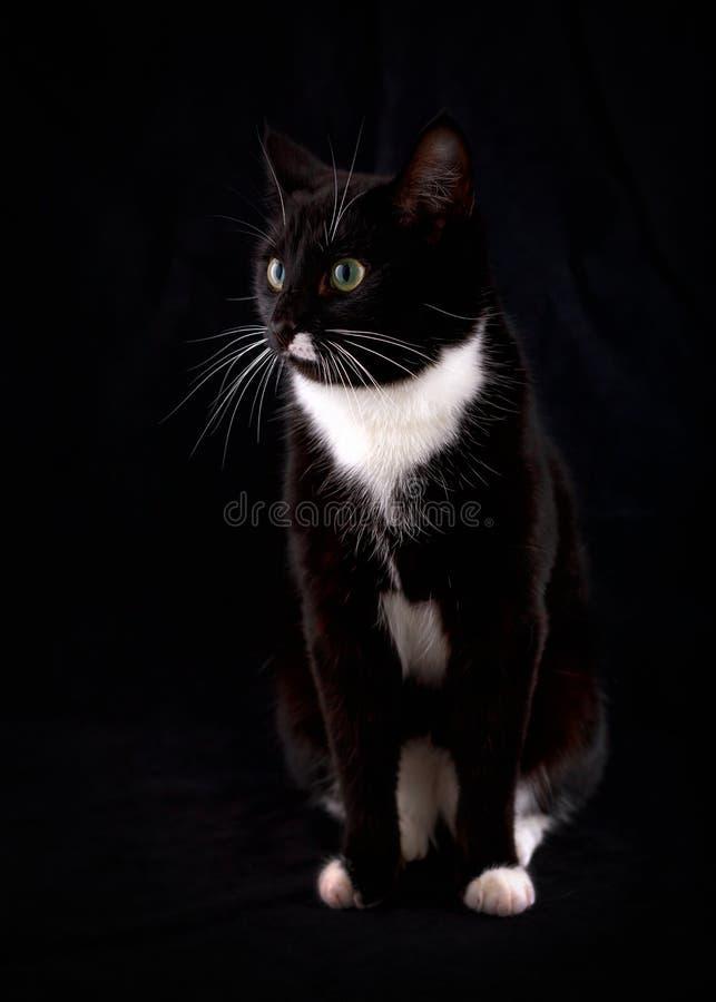 Portr?t einer schwarzen Katze mit gr?nen Augen und einem wei?en Jabot stockfotos