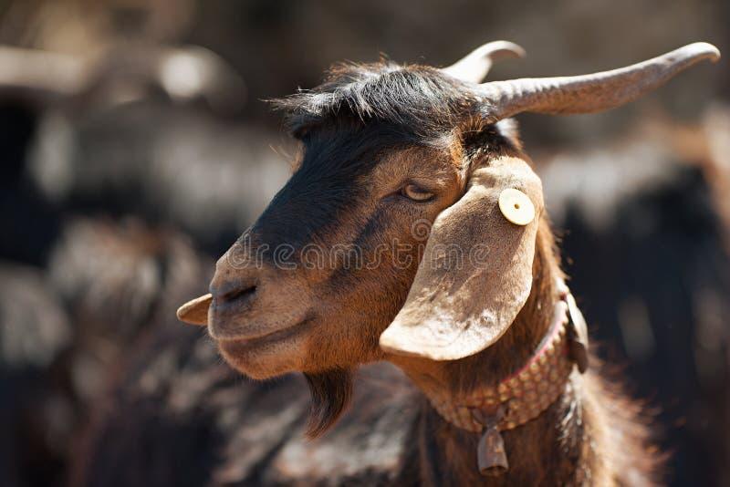 Portr?t einer Ziege auf einem Bauernhof lizenzfreie stockfotos