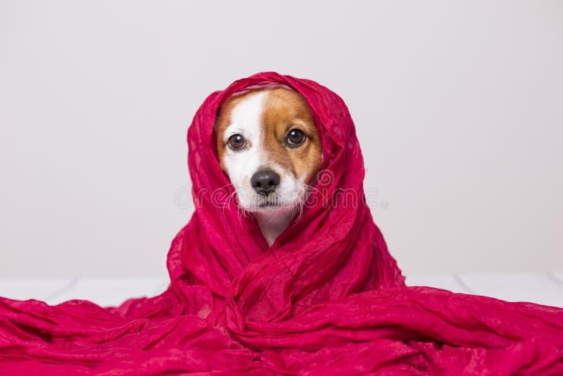 Portr?t eines netten jungen kleinen Hundes, der die Kamera mit einem roten Schal bedeckt ihn betrachtet Wei?er Hintergrund stockfoto