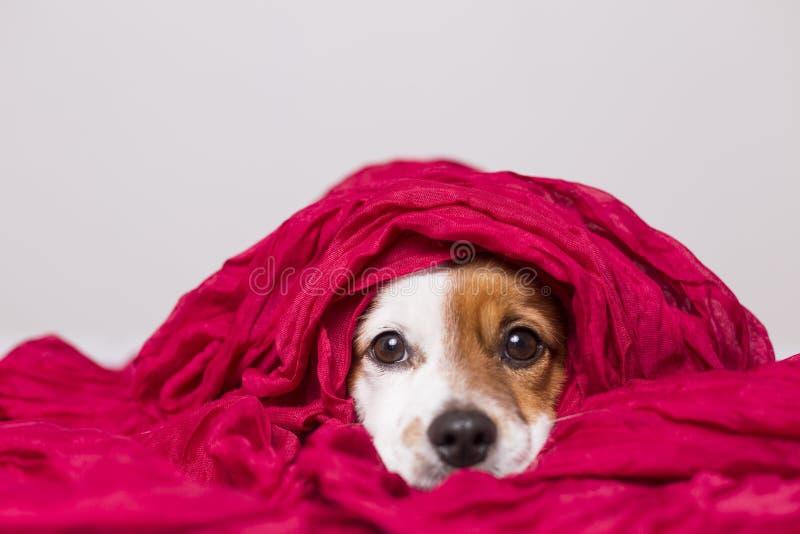 Portr?t eines netten jungen kleinen Hundes, der die Kamera mit einem roten Schal bedeckt ihn betrachtet Wei?er Hintergrund lizenzfreies stockfoto