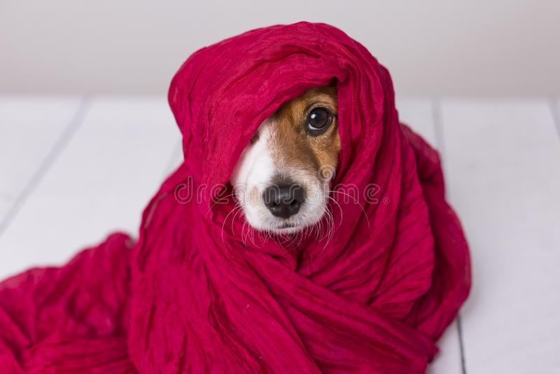 Portr?t eines netten jungen kleinen Hundes, der die Kamera mit einem roten Schal bedeckt ihn betrachtet Wei?er Hintergrund stockfotos