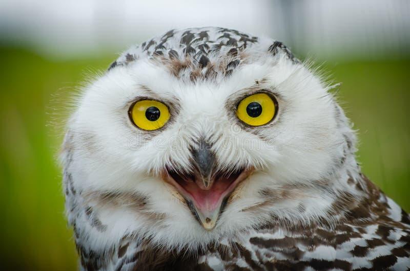 Portr?t von einem Snowy Owl Bubo Scandiacus lizenzfreie stockfotografie