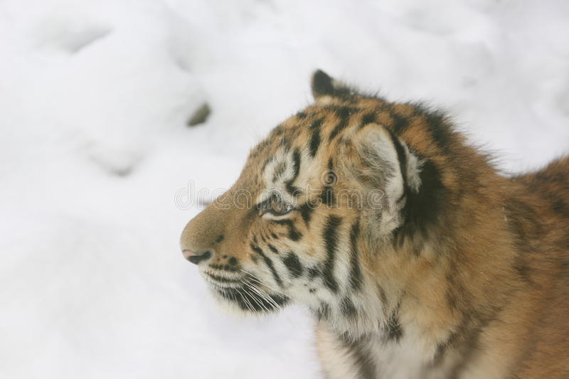 Portrai of a baby tiger. stock photo