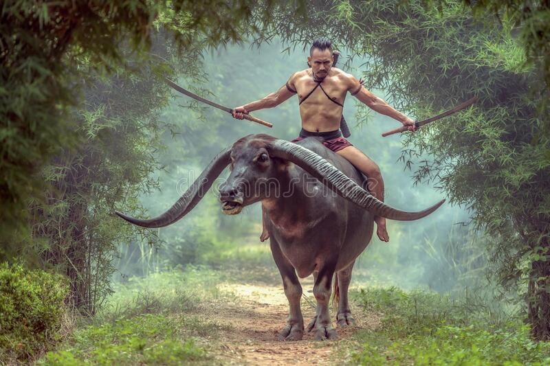 A portrai thai warrior in Ayutthaya costume  he have dual swords and riding the long horn buffalo stock images