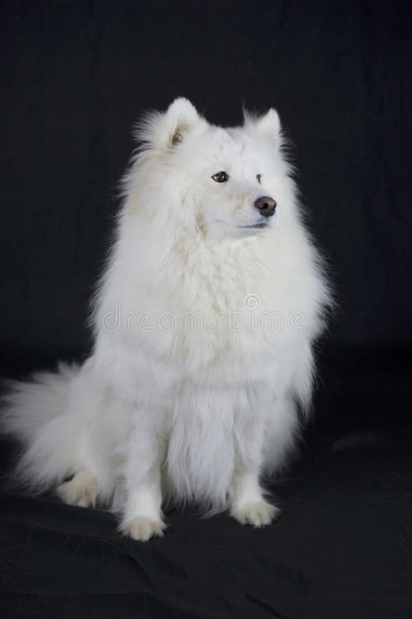 Portrair van a samoyed hond royalty-vrije stock foto's