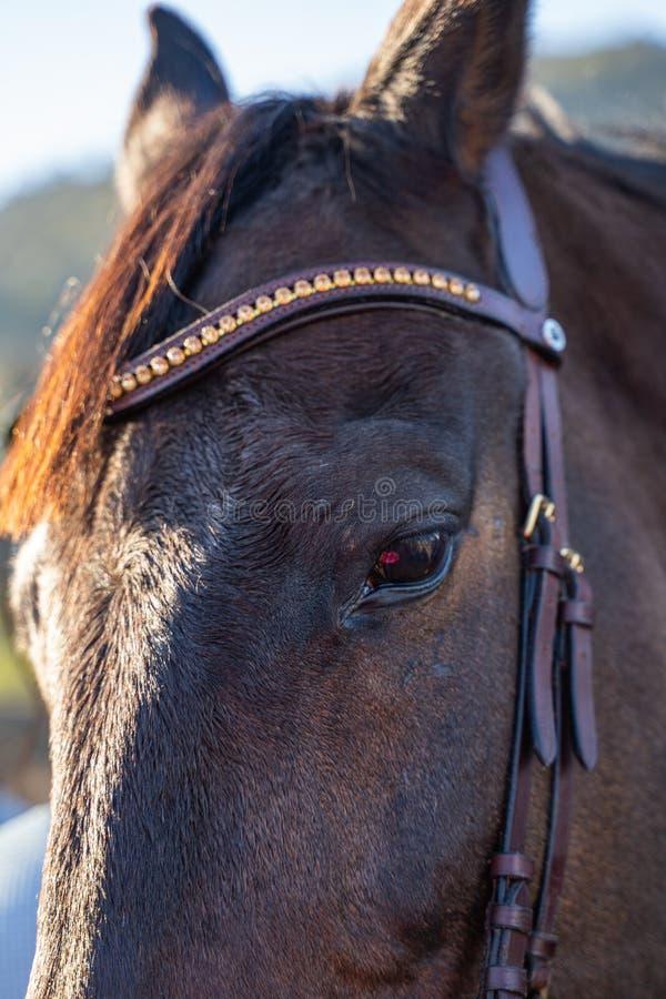 Portrait à cheval brun photographie stock