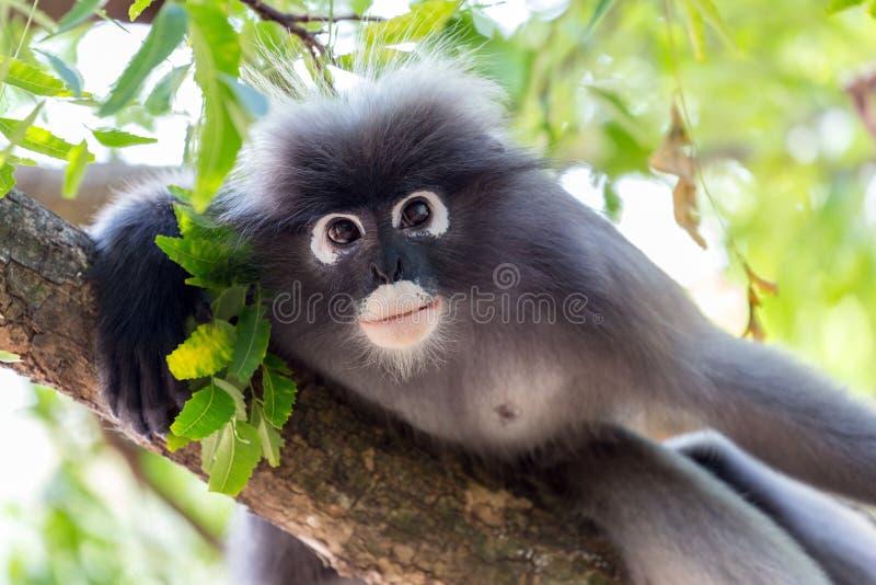 Portrait à lunettes de singe de Langur photo libre de droits