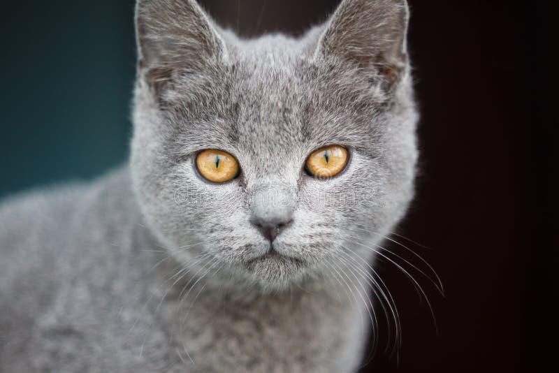 Portrait écossais gris de chat image stock
