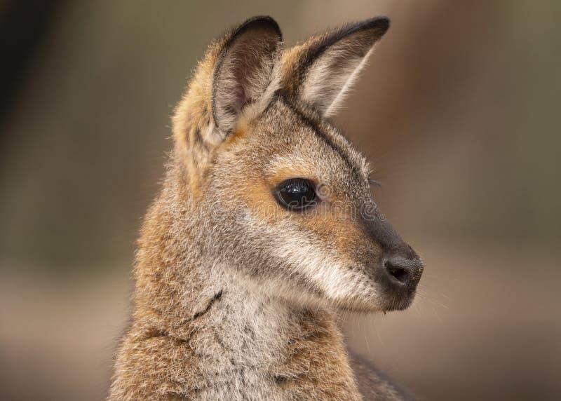 Portrait étranglé rouge de wallaby d'alerte image libre de droits