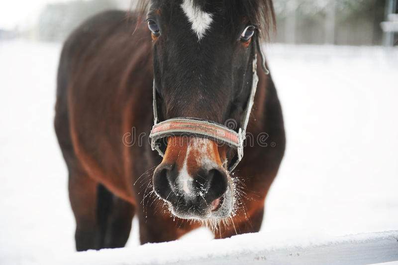 Portrait étroit d'un cheval brun sur un fond d'un paysage de monochrome d'hiver photo stock