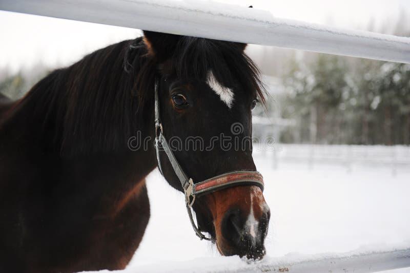 Portrait étroit d'un cheval brun sur un fond d'un paysage de monochrome d'hiver images stock