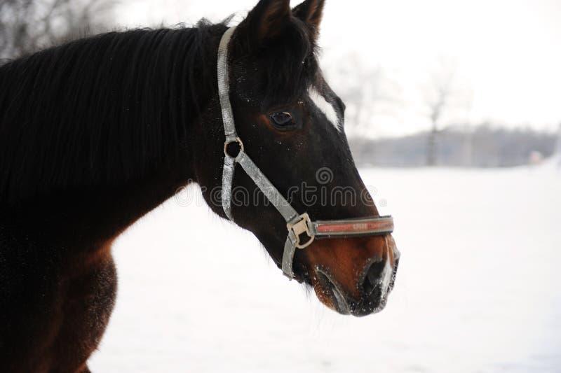 Portrait étroit d'un cheval brun sur un fond d'un paysage de monochrome d'hiver photo libre de droits