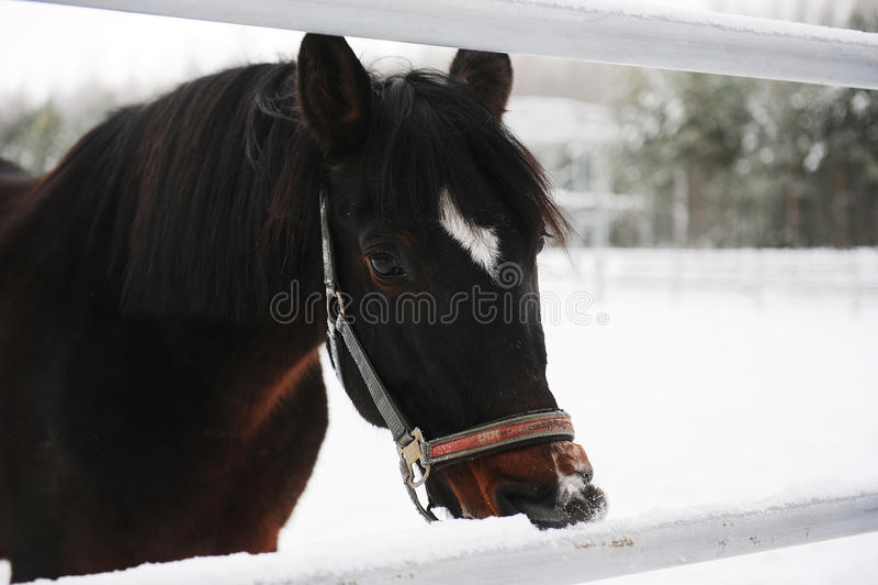 Portrait étroit d'un cheval brun sur un fond d'un paysage de monochrome d'hiver photos stock