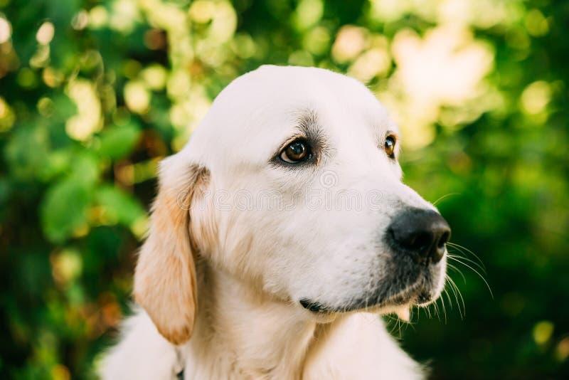 Portrait étroit de museau de tête de vue de côté de chien d'or jaune de labrador retriever photos stock