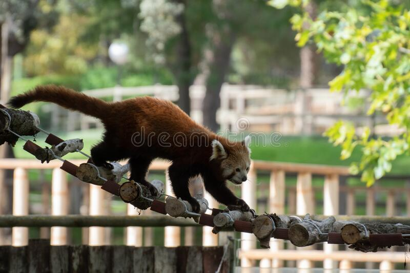 Portrait of an active red panda in a zoo. Crossing a bridge royalty free stock images