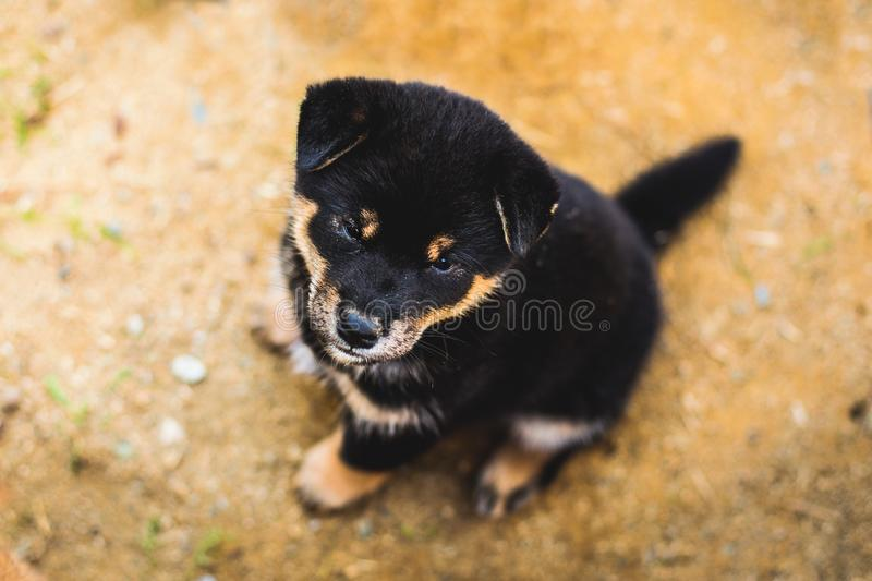 Portrait of adorable black and tan shiba inu puppy sitting outside on the ground and looking to the camera stock image