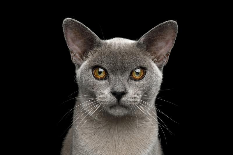 Blue Burmese Cat isolated on black background. Portrait of Adorable Blue Burmese Cat with unusual eyes isolated on black background, front view stock photos
