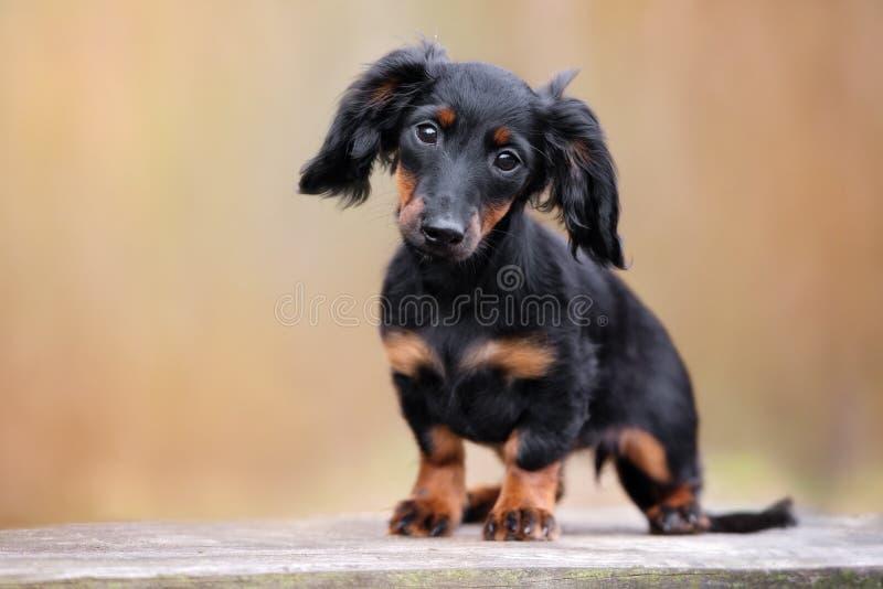 Portrait adorable de chiot de teckel photos stock