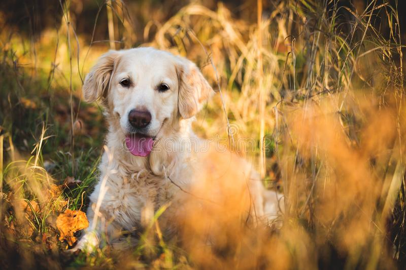 Portrait of adorable dog breed golden retriever lying in the autumn forest at sunset stock photos