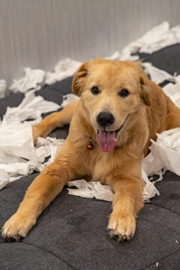 Portrait of adorable golden retriever dog playing toilet paper royalty free stock image