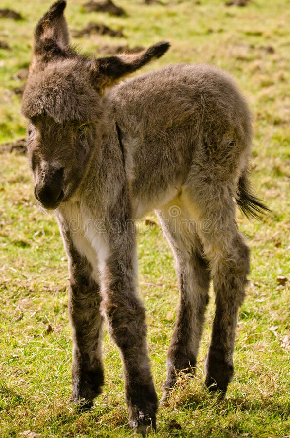 Portrait of a adorable grey donkey foal standing in the grass near to its mother. And looks so cute into the camera royalty free stock photography
