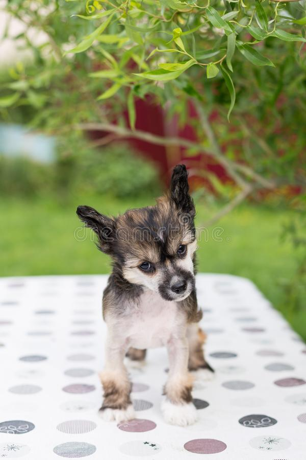 Portrait of adorable hairless puppy breed chinese crested dog standing on the table on summer day. Portrait of cute hairless puppy breed chinese crested dog stock photos