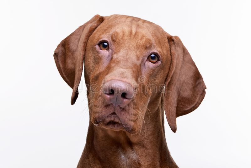 Portrait of an adorable Hungarian Vizsla. Isolated on white background stock images