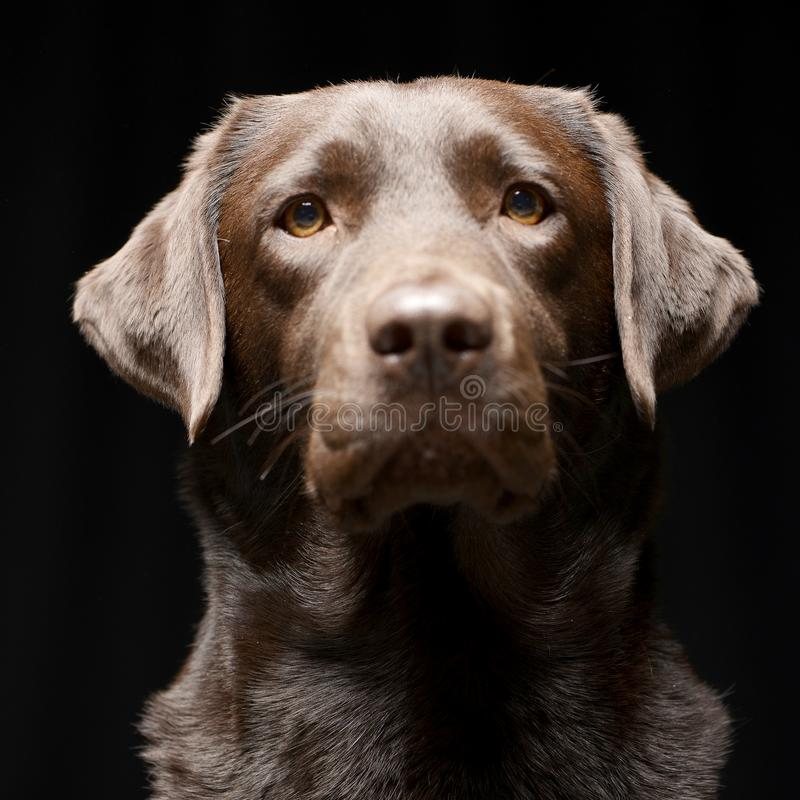 Portrait of an adorable Labrador retriever stock image