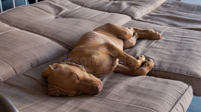 Portrait of an adorable little brown puppy vizsla and its foot sleeping comfortably and relaxed over a grey brown couch. A little brown puppy Hungarian or Magyar royalty free stock photos