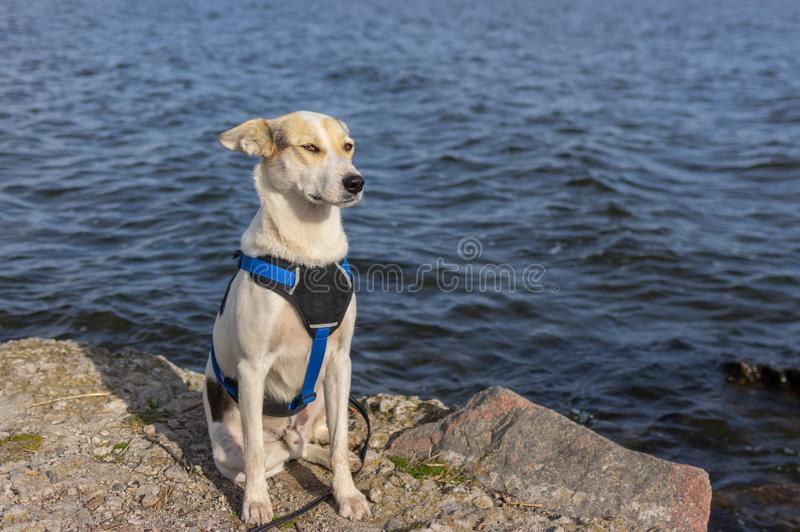 Portrait of adorable mixed-breed white dog in breast-band sitting on a riverside and relaxing stock image