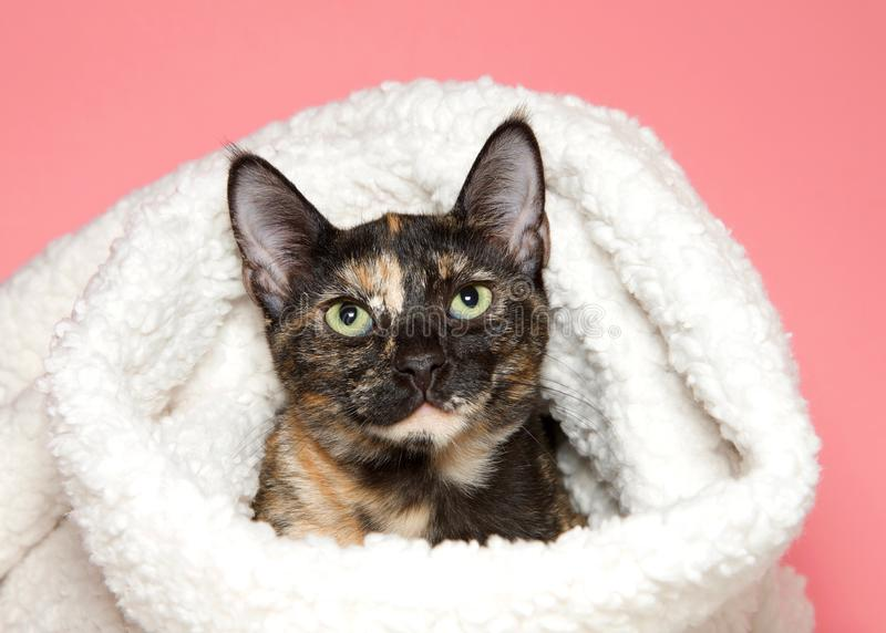 Portrait of an adorable tortie tabby kitten peaking out of sheep skin blanket. Portrait of an adorable tortie tabby kitten peaking out of a sheepskin blanket royalty free stock photo