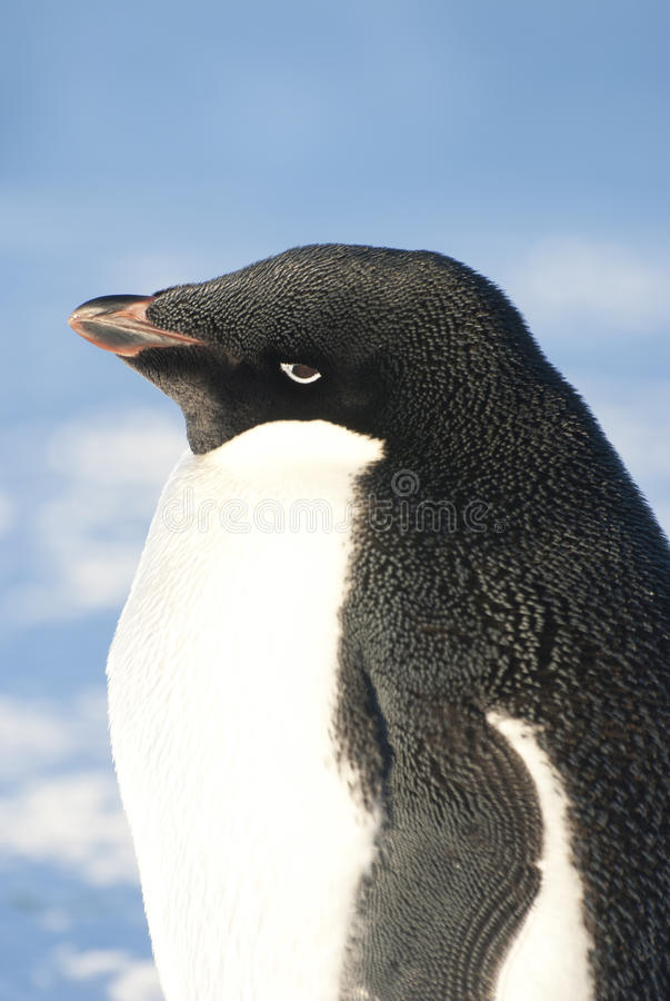 Portrait of an adult Adelie penguin against a blue sky. royalty free stock photo