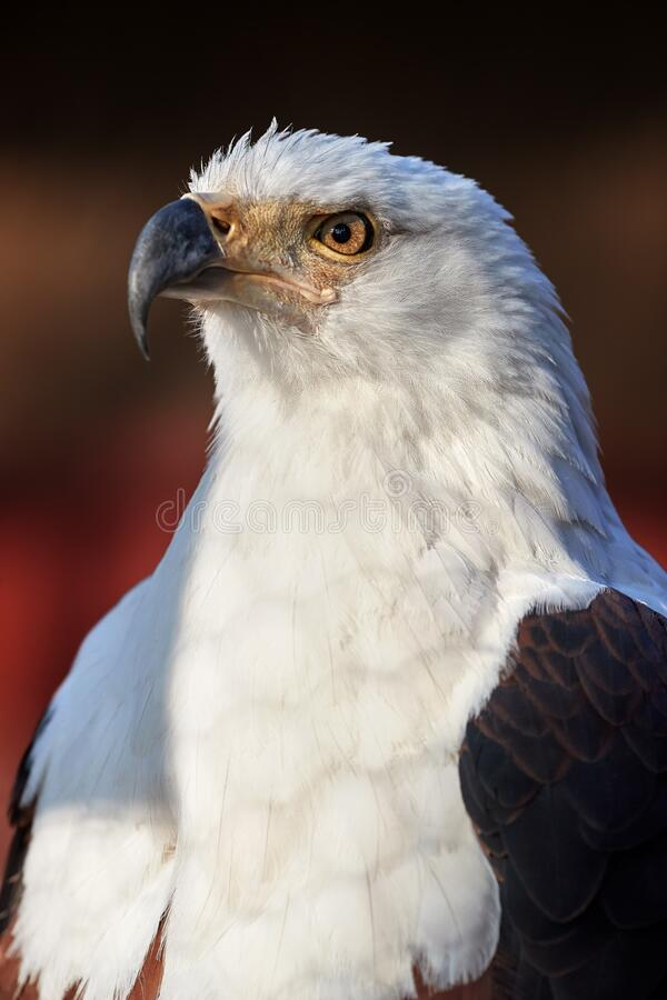 Portrait of adult African fish eagle, Haliaeetus vocifer, isolated on blurred background. Side view. Eagle eye. Close up african. Raptor, eagle from Mana Pools royalty free stock photo