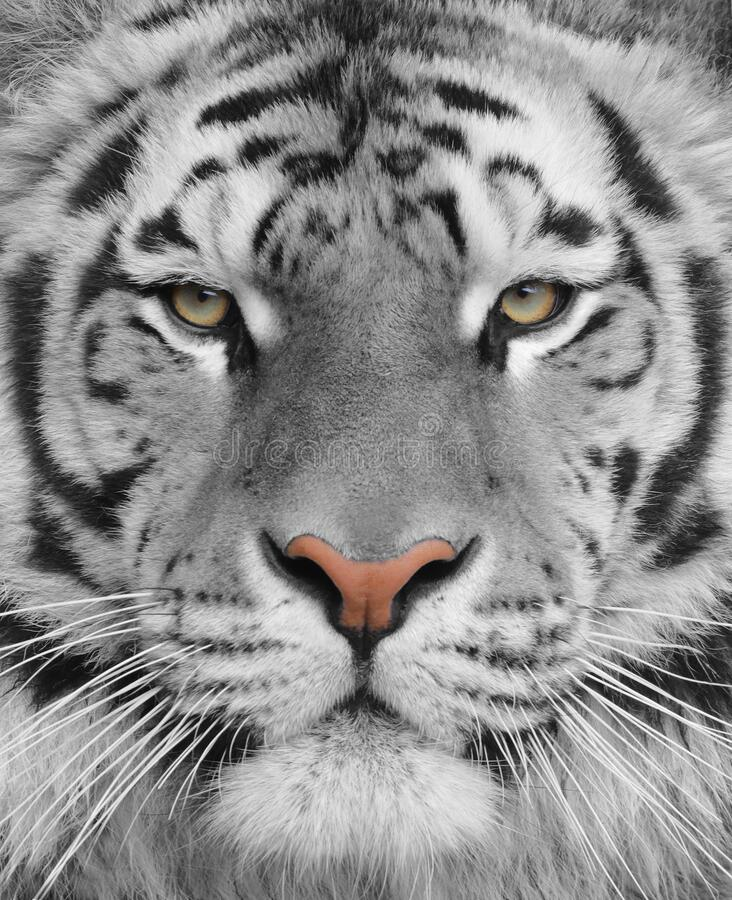 Portrait of an adult albino tiger stock image