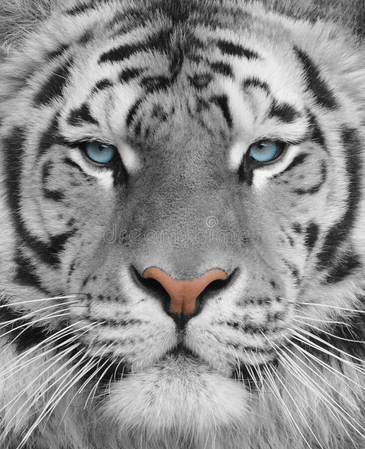 Portrait of an adult bengal albino tiger with blue eyes royalty free stock image