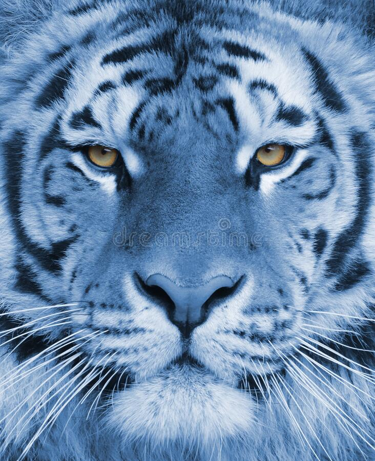 Portrait of an adult Bengal tiger in a blue tint stock photos