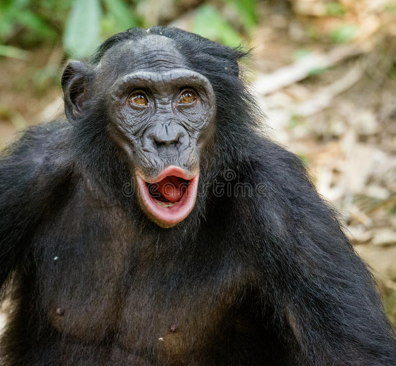 Download Portrait Of Adult Bonobo With Open Mouth. Stock Image - Image of male, forest: 83713923