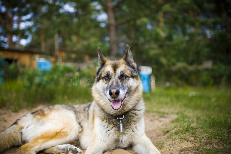 Portrait of an adult dog on the nature. Mixed Shepherd and Husky. Portrait of an adult and a very intelligent dog on the nature. Mixed Shepherd and Husky stock images