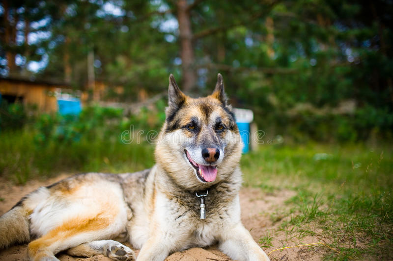 Portrait of an adult dog on the nature. Mixed Shepherd and Husky. Portrait of an adult and a very intelligent dog on the nature. Mixed Shepherd and Husky royalty free stock images