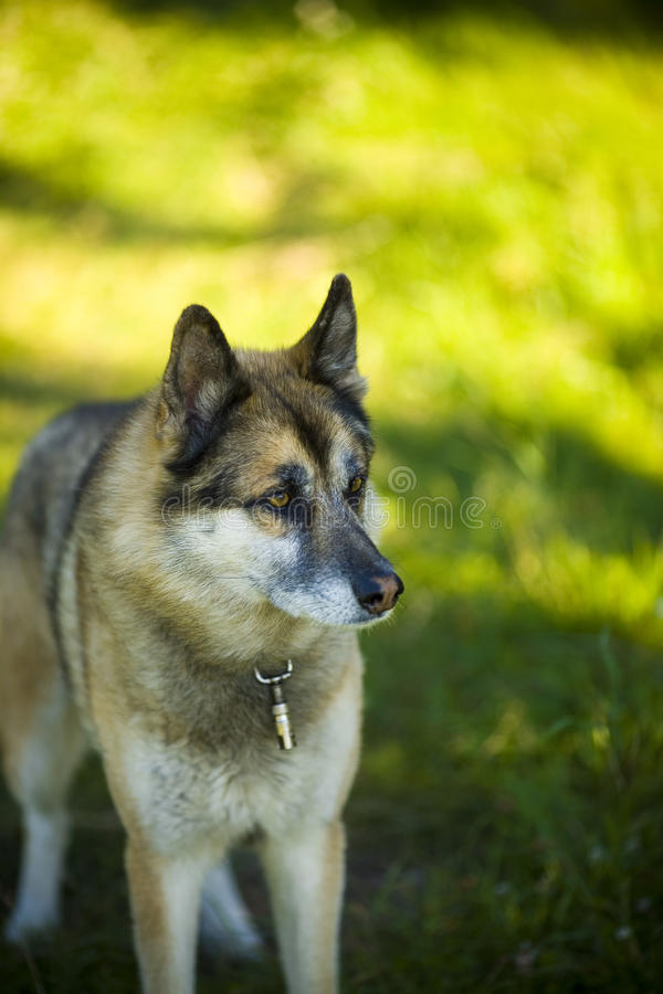 Portrait of an adult dog on the nature. Mixed Shepherd and Husky. Portrait of an adult and a very intelligent dog on the nature. Mixed Shepherd and Husky royalty free stock photos