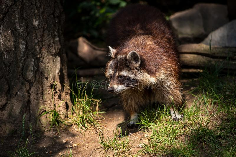 Portrait of adult female common raccoon royalty free stock photo