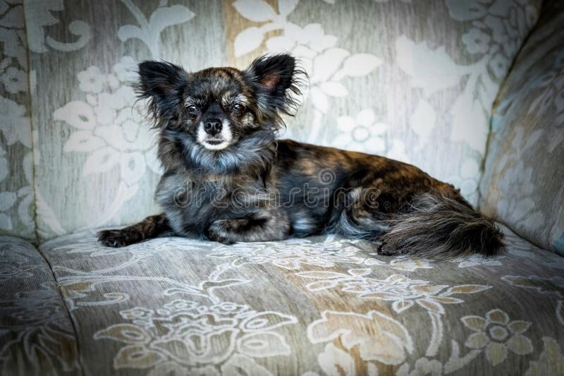 Portrait of longhaired chihuahua, relaxing on chair. Portrait of adult female longhaired chihuahua, relaxing on chair royalty free stock photo