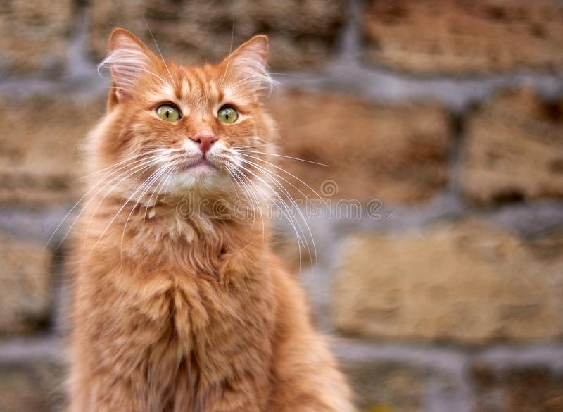 portrait of an adult fluffy red cat with green eyes royalty free stock images