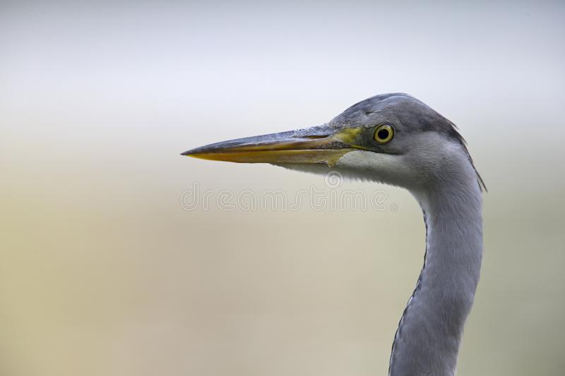 A portrait of an adult grey heron Ardea cinerea perched in the city of Berlin Germany. Viewed in front of a colored background royalty free stock images