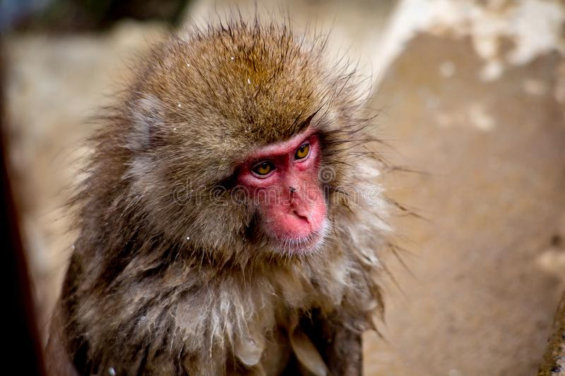 Portrait of a wild snow monkey. A portrait of an adult Japanese Macaque, or snow monkey. These monkeys are the northern most non-human primates in the world royalty free stock photo