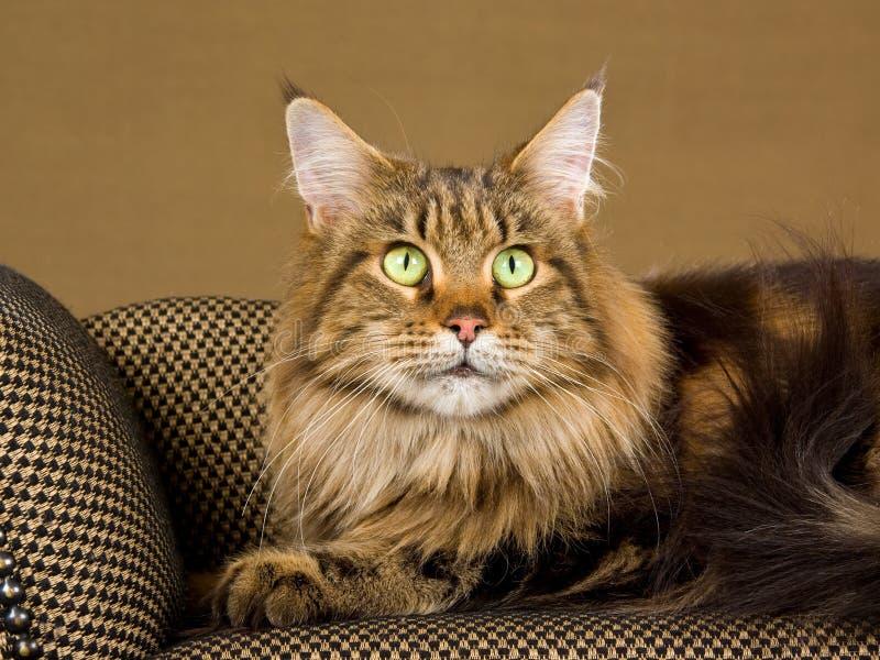 Portrait Of Adult Maine Coon Cat Stock Photos